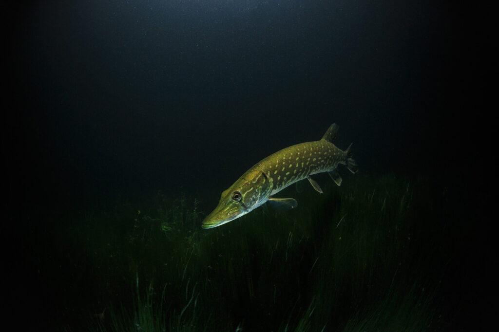 En gädda i ett mörkt vatten.