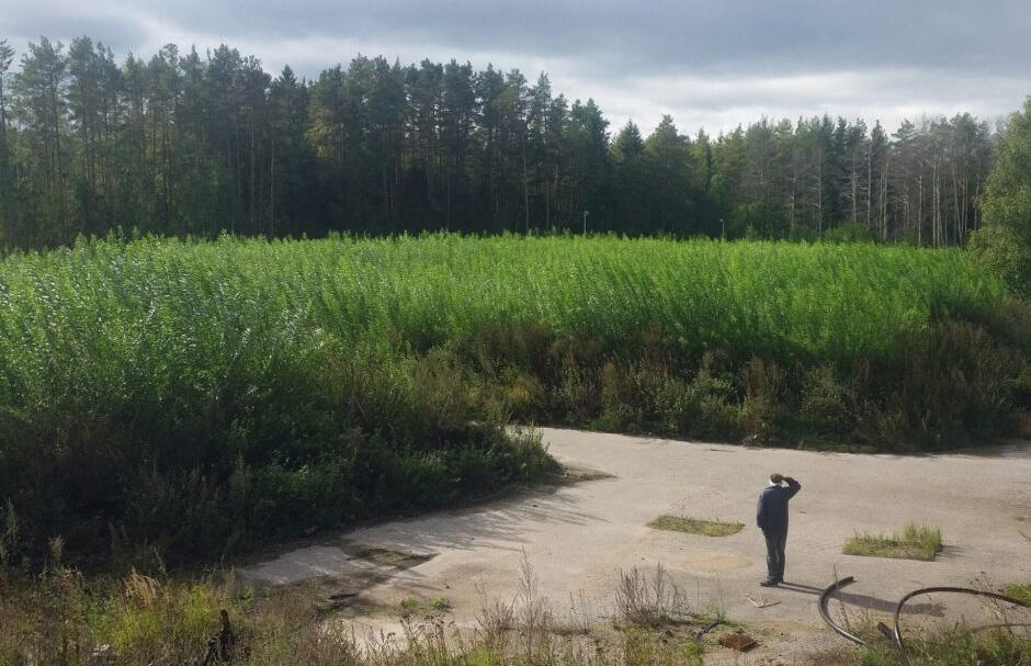 En man står och tittar ut över en odling av salix.
